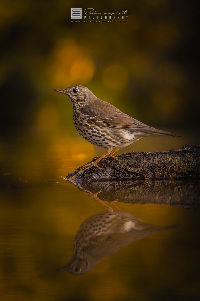 Song Thrush reflected