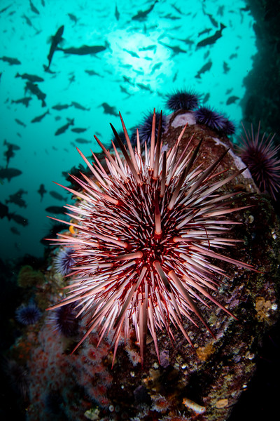 A red sea urchin coinhabits a bustling Monterey Peninsula reef with purple sea urchins that have stripped the area of most of its kelp.