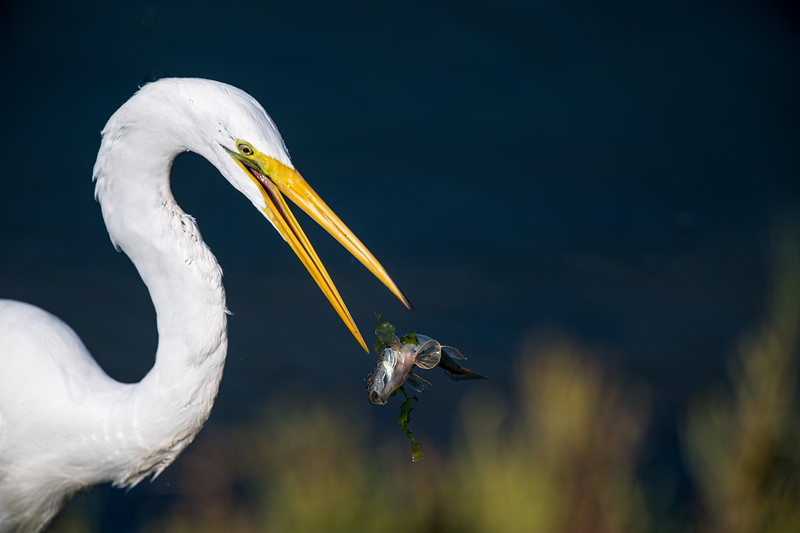 Great Egret catching a fish