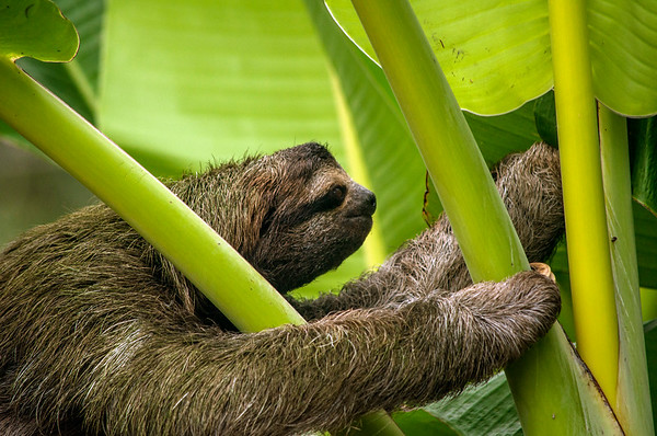 Three-toed Sloth (Bradypus sp.), Cahuita,
