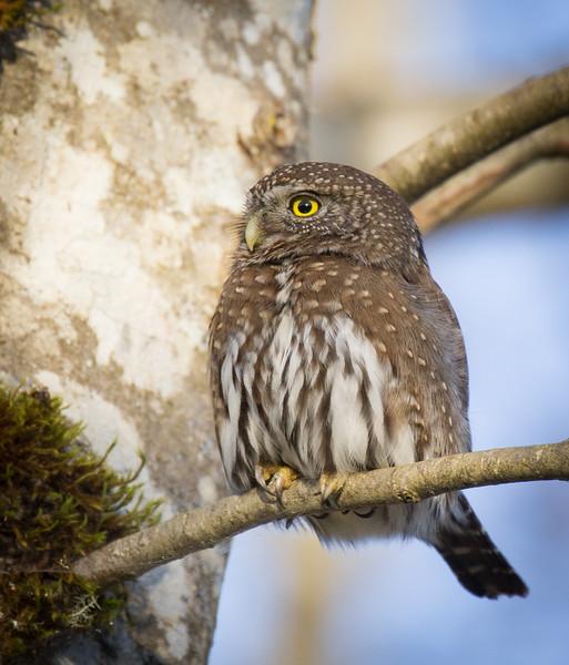 Northern Pygmy Owl-6746