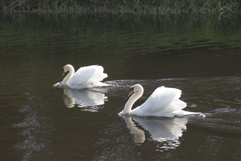 Ireland -- Swans alongside the golf course at the K Club, site of the 2006 Ryder Cup, in County Kildare