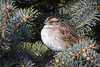 White-Throated Sparrow-8931