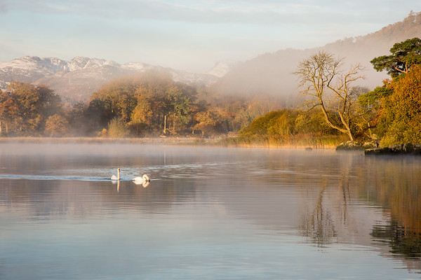 Swans on #Windermere lake