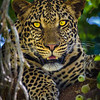 A Leopard looks for lunch in the Masai Mara | Kenya