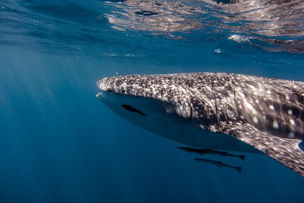 Whaleshark Entourage