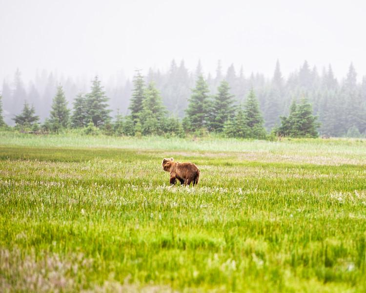 Young Bear at Lake Clark Alaska