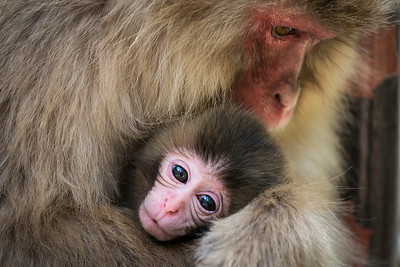Japanese macaque (Macaca fuscata): baby and his mum