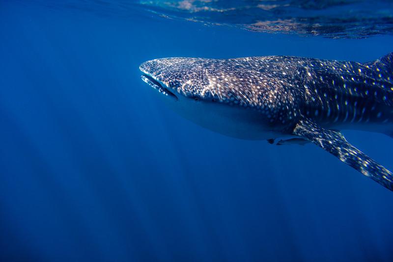Whaleshark Caustics
