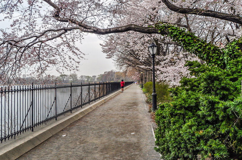 Spring Blossoms in Central Park