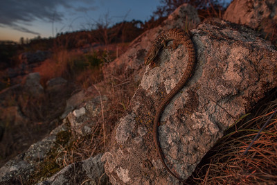 Southern Alligator lizard (Elgaria multicarinata) basking on a rocky hillside as the sun sets.