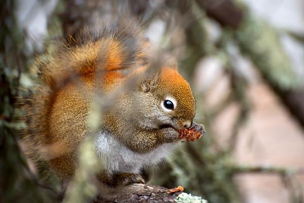Red squirrel ~ Voyageurs National Park, Minnesota