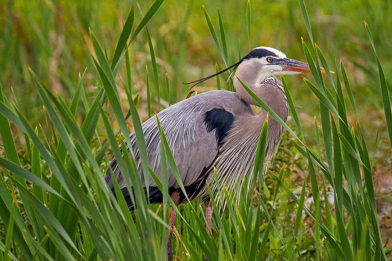 Great Blue Heron, Lake Apopka, central Florida taken by Jerry Dalrymple