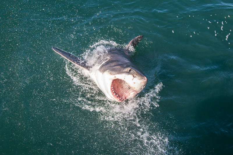 Great White Shark Cage Diving in Mossel Bay with Shark Africa