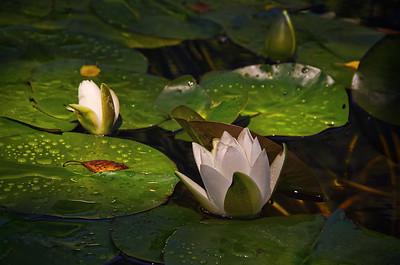'Water Lily Portrait' ~ Centralia, MO