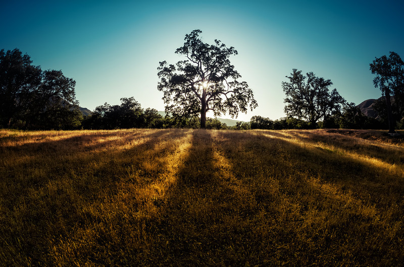 The Golden Fields under the Trees