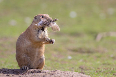 Chicken dinner. Funny animal image of a cute marmot prairie dog stuffed with feathers.