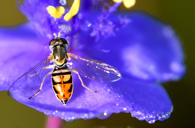 Hoverfly on Tradescantia