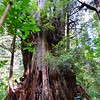 Cedar Tree Of Life - Tofino British Columbia Canada
