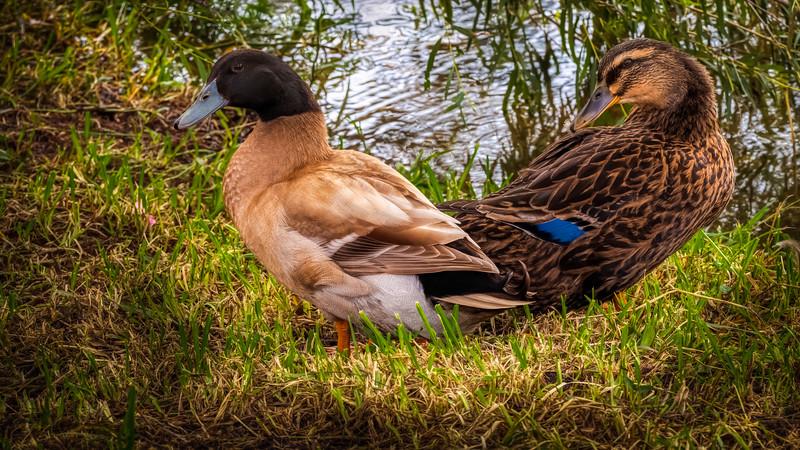 Gatesville_Ducks