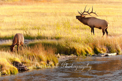Bugling Bull Elk with Harem on the Madison River, Wyoming