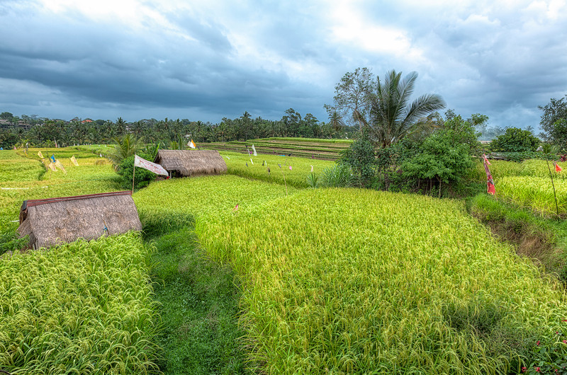 "<h1>Bali Rice Fields</h1> <p>These are some of the Rice Fields of Bali Indonesia. This is the view from the famous Sari Organik Cafe.</p>  <p>Read more about this at <a href=""http://alikgriffin.com/blog/nov/24/rolling-rice-fields-bali"">AlikGriffin.com</a></p>"