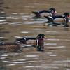 A Wood Duck Kind of Afternoon