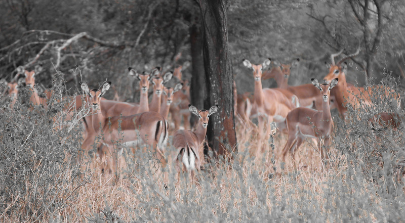 'Everyone look this way' - This group of impalas with their senses heightened.