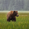 Grizzly Chewing Grass - Lake Clark Alaska