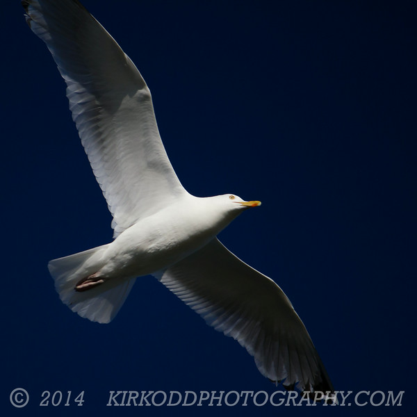 Seagull Underglow
