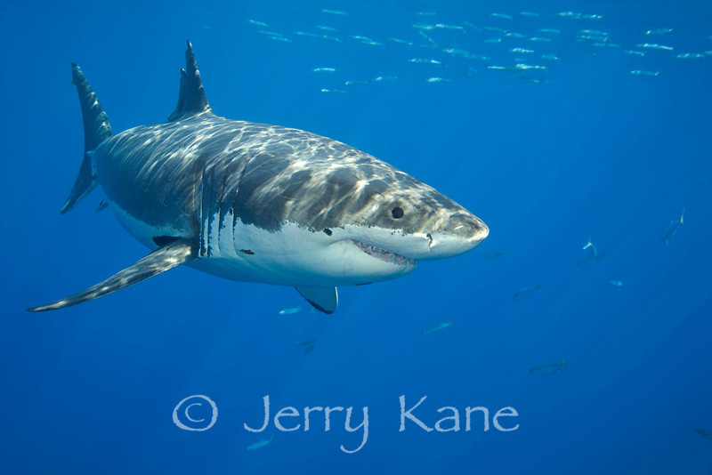"Great White Shark (Carcharodon carcharius) - Guadalupe Island, Baja California, Mexico  To see more white sharks, click <A HREF=""http://sealifeimages.smugmug.com/Eastern-Pacific/Guadalupe/19165981_pQDkrH#1508928721_jmD86J5""> here</a>"