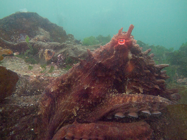 PB034026-  Giant Pacific Octopus - for an account of this encounter please see http://themarinedetective.com/2013/11/03/octopused-a-story-in-grainy-pictures/