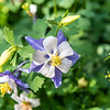 Purple & White Fan Columbine