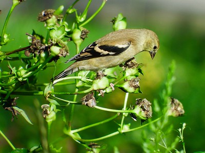 Native Plants Feed Birds II
