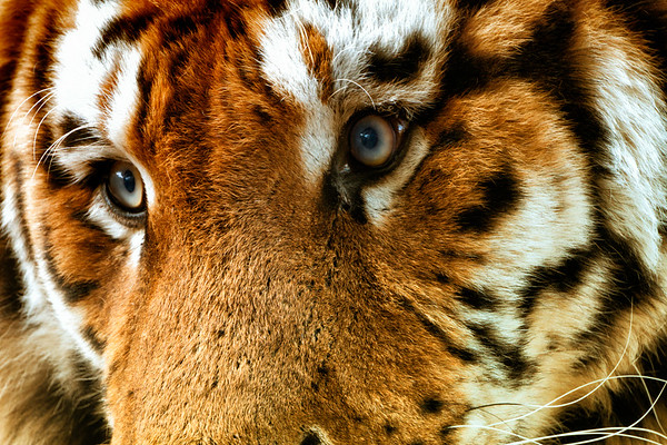 The Tigers of Ireland