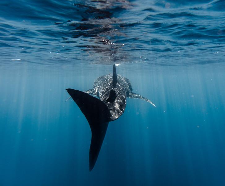 Whaleshark Surface Fin