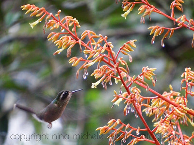 Speckled Hummingbird at Bromeliad