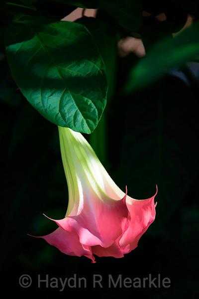 Brugmansia (Arborea)