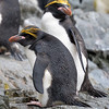 Macaroni Penguins - Hercules Bay South Georgia Island Sub Antarctic region