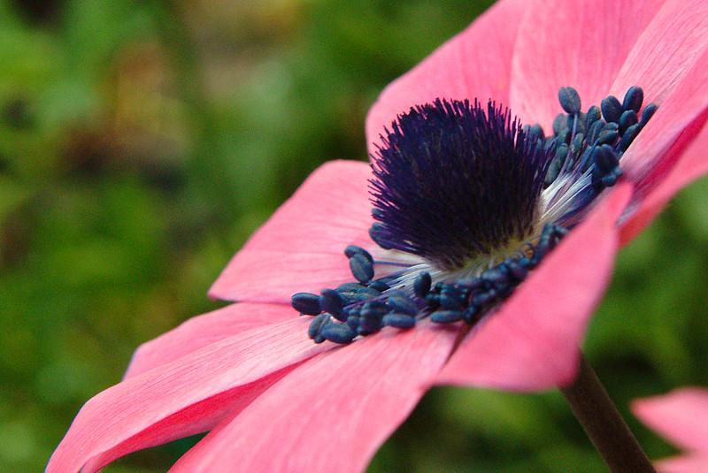 Heronswood Anemone