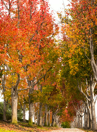 Fall trees, Torrance, CA