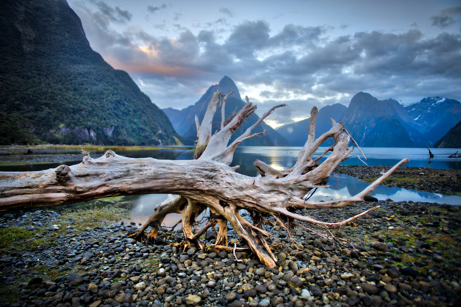 Bleached Tree in Milford Sound