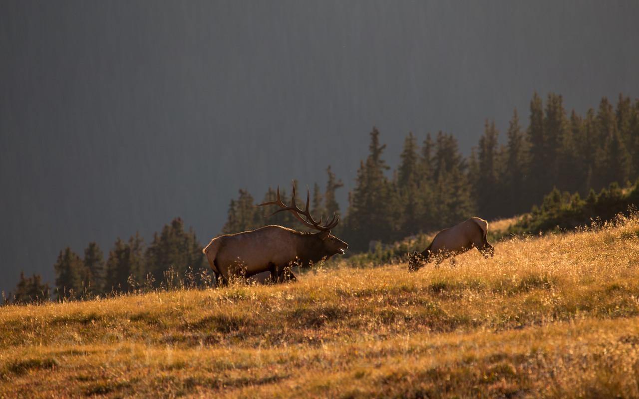 Rutting Elk