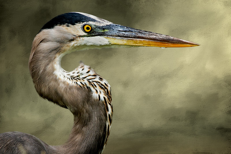great blue heron on textured ma