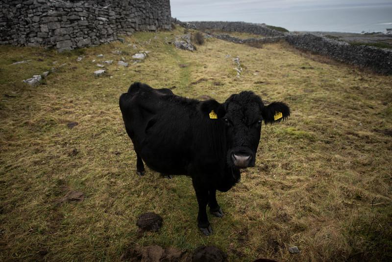 Irish Black Cattle