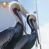 Pelicans In Profile