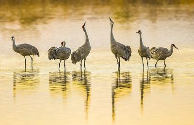 "Sandhill Cranes ""Harmonizing"" at Bosque Del Apache"