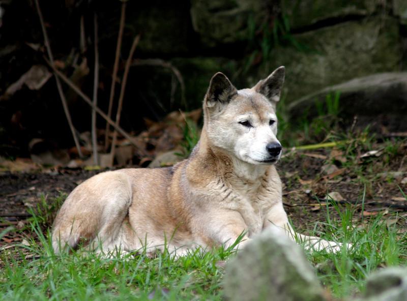 sydney zoo - dingo