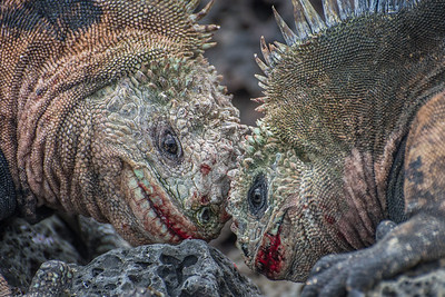 A pair of male marine iguanas (Amblyrhynchus cristatus) bashing their heads together in a territorial dispute in the Galapagos. Neither was willing to back down and both were bruised and bloodied.