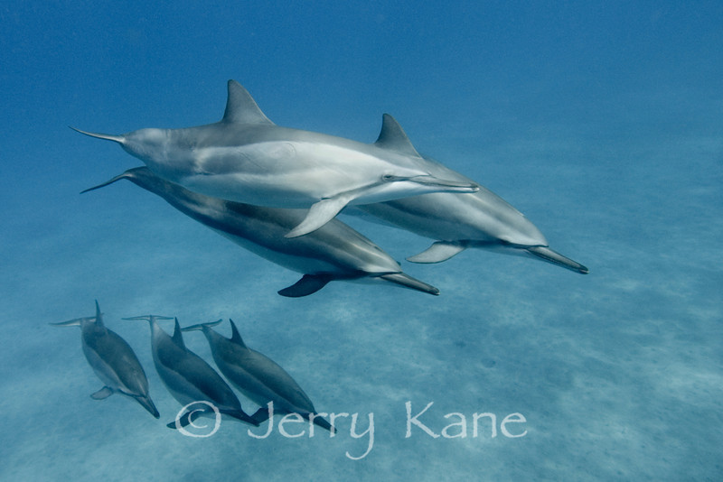 """Spinner Dolphin (Stenella longirostris) - Hookena, Big Island, Hawaii  To see more Hawaii dolphins, click <A HREF=""""http://sealifeimages.smugmug.com/gallery/4340867_qnVib#325997379_TPZhZ""""> here</a>"""